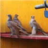 Уличенный в отлове ценных кречетов житель Красноярского края пытается загладить вину подарком в виде попугаев