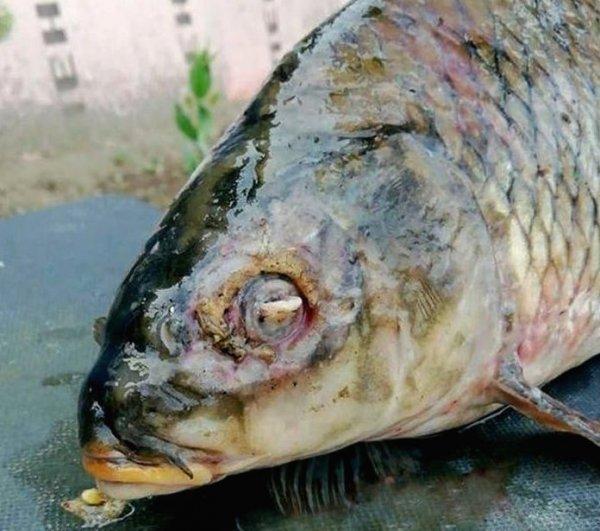 В Амурской области рыбаки ловят похожих на мутантов сомов и сазанов