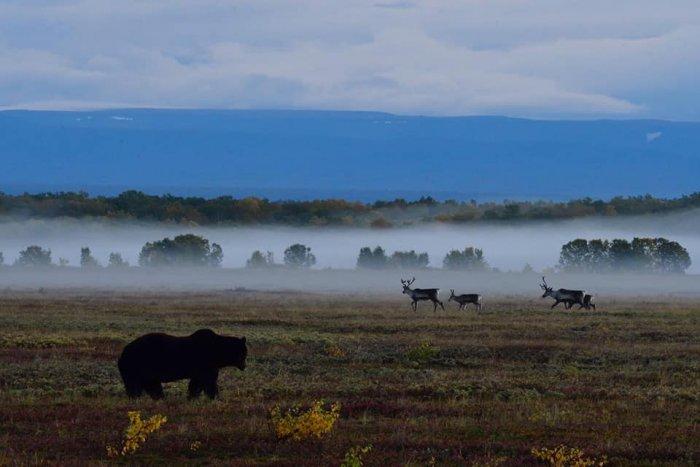 Сотни мёртвых оленей в тундре Камчатки на «красные водоросли» не спишешь