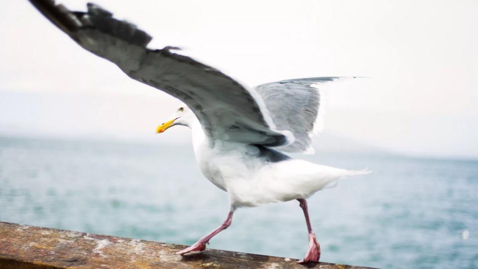 В Шотландии голодная чайка украла откушенный в драке язык мужчины