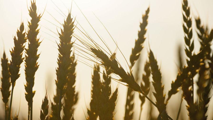 Россия может установить рекорд по производству пшеницы по итогам 2020 года