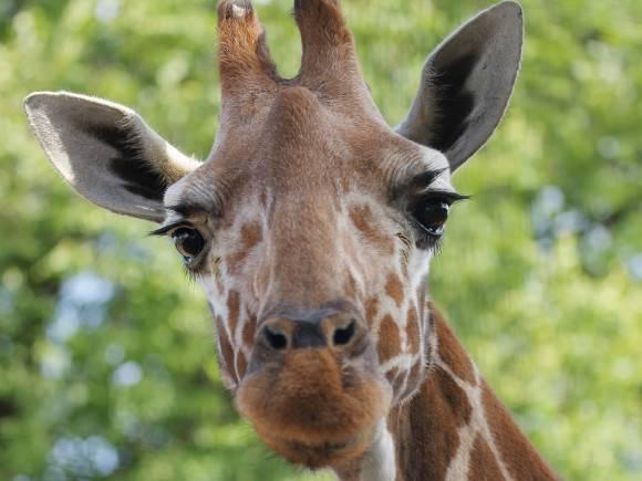 Редчайшие жирафы погибли страшной смертью, упершись шеями в провода под напряжением (фото)