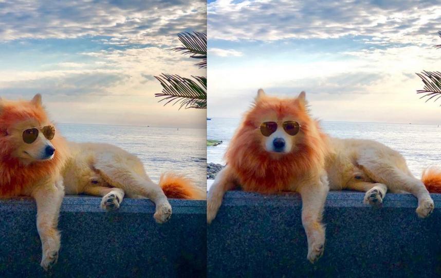 Жители Сочи заступились за собак-львов: зачем хозяева так выкрасили животных