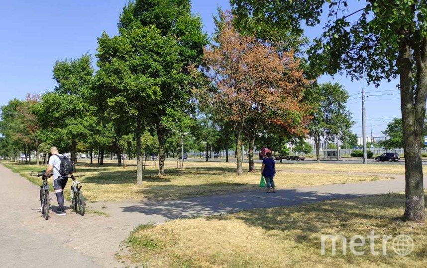 Летний сентябрь: липы в Петербурге атакует паутинный клещ